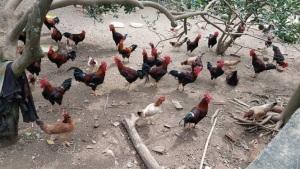 Dấu ấn chuỗi chăn nuôi Hà Nội: Chăn nuôi liên kết