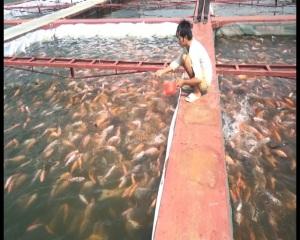 Nuôi cá lồng trên hồ thủy điện Sơn La ngày một nhiều