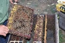 Phú Thọ nuôi ong mật chất lượng cao