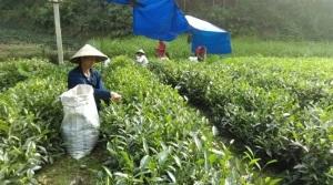 Sản xuất chè an toàn ở Phú Lương, sự sống còn.