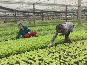 Điểm sáng sản xuất rau VietGAP
