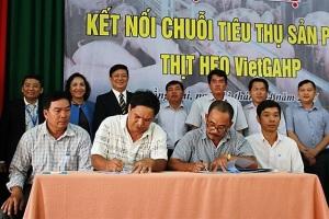 Hơn 30.000 con lợn VietGAHP được bao tiêu đầu ra