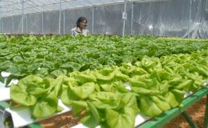 150 tổ chức, cá nhân sản xuất rau đạt chuẩn
