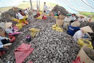 Khoai lang Bình Tân cần được hỗ trợ mở rộng theo GAP