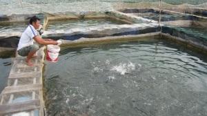Liên kết nuôi cá rô phi theo VietGAP