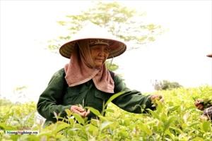 Chè đặc sản VietGAP xứ Tuyên