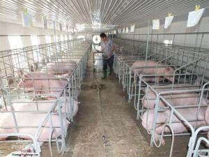 Cơ sở chăn nuôi lớn phải được cấp phép