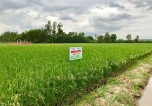 Sóc Trăng: Mở rộng vùng lúa đặc sản