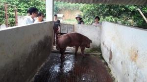 Hợp tác nuôi lợn an toàn sinh học