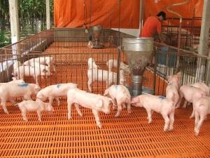 Liên kết chăn nuôi làm giàu: