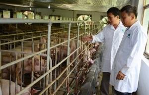 Trang trại lợn lớn nhất Yên Bái tự tìm lối thoát