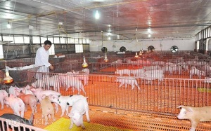 Chuỗi liên kết chăn nuôi - tiêu thụ tại cơ sở
