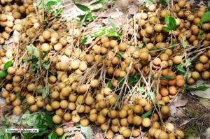 An Giang trồng nhãn xuất khẩu, khôi phục các giống nhãn quý