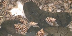 Quảng Ngãi: Thả giống mô hình nuôi ghép ốc hương với hải sâm thương phẩm trong ao