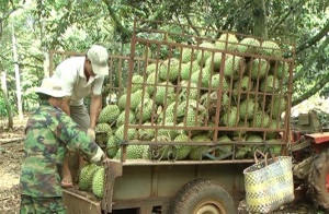 Liên kết sản xuất sầu riêng VietGAP, đỡ lo đầu ra, thu nhập tăng