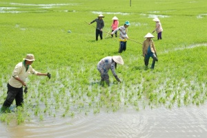 Thúc đẩy sản xuất lúa gạo bền vững