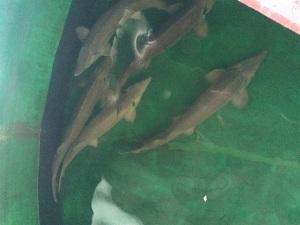 Nuôi thương phẩm cá tầm Siberi