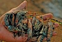Hơn 700ha tôm nuôi nhiễm bệnh