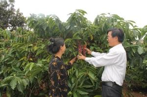 Sản xuất cà phê đặc sản, hướng đi mới của Đắk Lắk