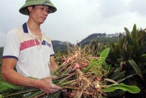 Ngỡ ngàng hiệu quả cây riềng trên đất màu, thu 600 triệu đồng/ha/năm