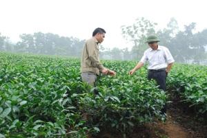 Độc đáo cà chua thân gỗ, mỗi cây có thể cho thu 2 - 3 triệu đồng