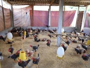 Chăn nuôi trên đệm lót sinh học, hiệu quả kinh tế và môi trường
