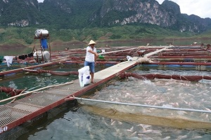 Quỳnh Nhai phát triển nghề nuôi cá lồng