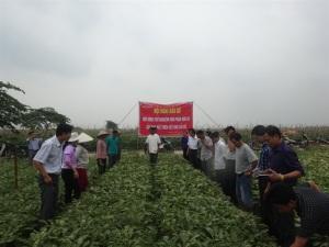 Cùng tham gia sản xuất rau hữu cơ theo hệ thống