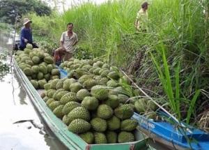Liên kết trồng sầu riêng