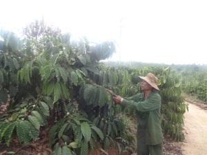 Bón phân hợp lý cho cây cà phê