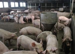 Thái Bình thận trọng tái đàn khi giá lợn hơi tăng cao từng ngày