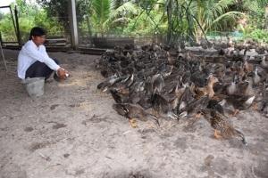 Trại thuần dưỡng vịt trời lên đến vài ngàn con