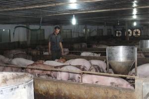 Công nghệ mới nuôi lợn khép kín
