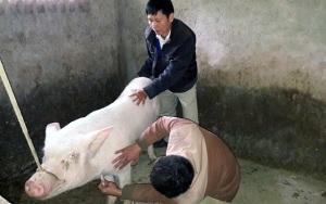 Bùng phát bệnh Lepto trên lợn?