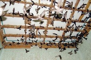 Phát triển nghề nuôi chim yến