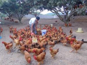 Nâng hiệu quả nuôi gà đồi theo chuỗi giá trị