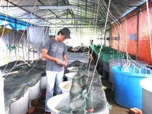 Nâng cao năng lực cung cấp giống thủy sản chất lượng cao cho vùng ĐBSCL