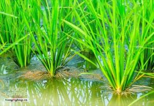 Bảo vệ bộ rễ lúa để giữ năng suất