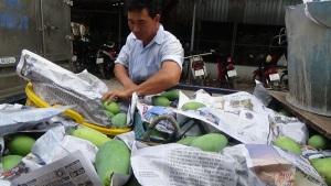 Thủ phủ xoài Đồng Tháp đã sẵn sàng cho trái đặc sản