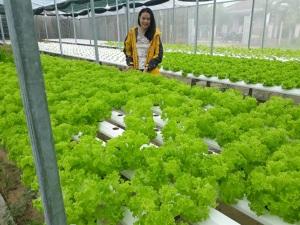9X trồng rau thủy canh sạch mỗi ngày thu 2 triệu đồng