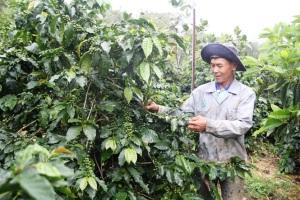 Ở vùng sản xuất cà phê có chất lượng ngon hàng đầu thế giới