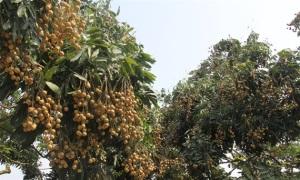 Sớm xây dựng thương hiệu cho trái nhãn Phúc Thuận