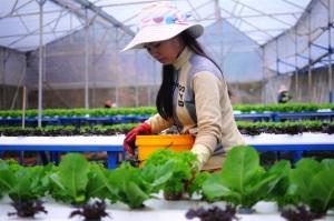 Ngưỡng mộ mô hình trồng rau thủy, khí canh công nghệ cao, lãi 7 - 8 tỷ/ha, năm