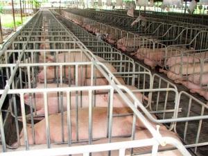 Giải pháp quyết liệt để ổn định chăn nuôi