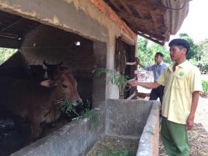 Cải tạo đàn bò bằng phương pháp thụ tinh nhân tạo