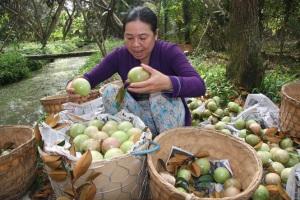 Niềm tự hào của người dân trồng vú sữa Tiền Giang