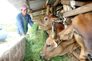 Bí quyết nuôi bò vỗ béo