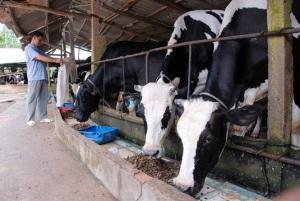 Nâng cao giá trị chăn nuôi gia súc vùng ĐBSCL