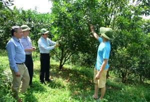Viện BVTV kết luận về bệnh vàng lá trên vườn cam ở Văn Chấn