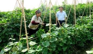 Đi đầu trồng rau hữu cơ ở Bắc Ninh